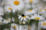 Thumbnail Bee on a Daisy Collecting Pollen - Stock Photo
