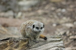Meerkat On A Log - Stock Photo