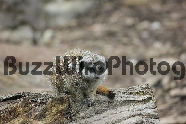 Product picture Meerkat On A Log - Stock Photo
